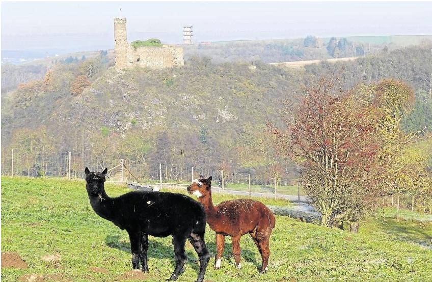 """Der Winter ist irgendwie schon ein bisschen da. Und dann fühlen sich die Alpakas oberhalb von Holzheim wohl. Die Bilder von Bernd und Gaby Felten sind auf einem Spaziergang rund um Holzheim entstanden. Zu sehen ist Burg Ardeck und der Turm vom """"Neuen Schloss""""."""