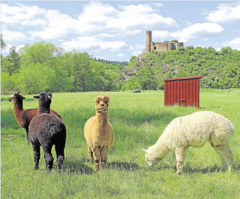 Unser Leser Dirk Gasteier aus Heistenbach hat die Alpakas bei einem Spaziergang rund um Holzheim fotografiert. Zu sehen ist im Hintergrund Burg Ardeck.